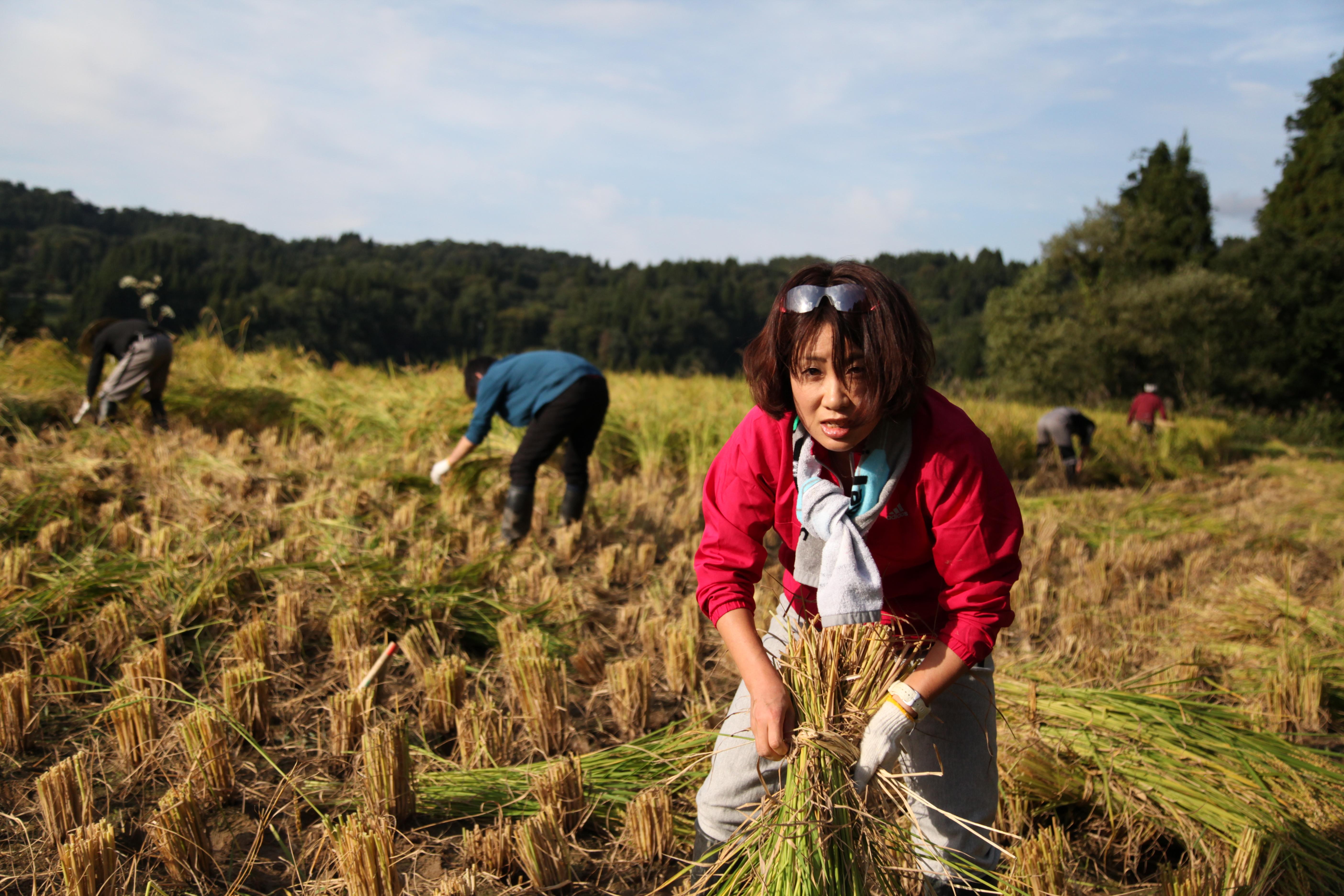 棚田の稲刈りを体験